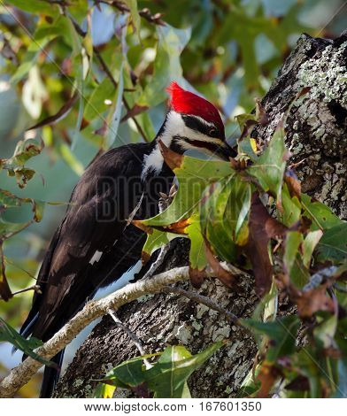 close up details of a Pileated woodpecker as its beak pecks a tree