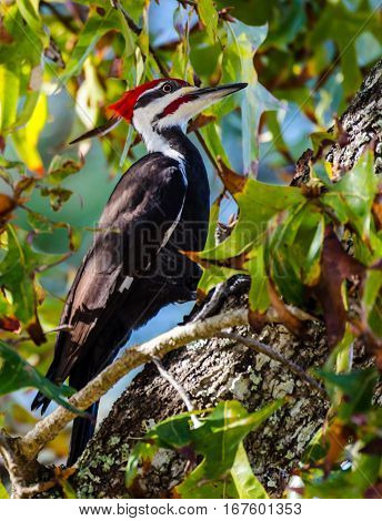 Pileated woodpecker posing as it works on pecking a hole in a tree