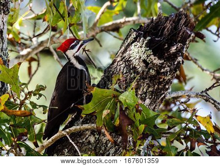 Close up of Pileated woodpecker as it is pecking