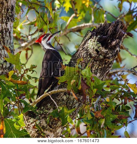 A Pileated woodpecker pausing its pecking in a tree