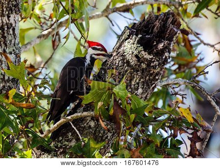 Pileated woodpecker with its beak inserted in its hole as it pecks
