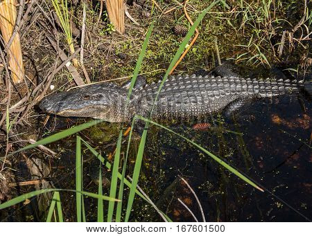 An American Alligator lying on the edge of a marshy stream