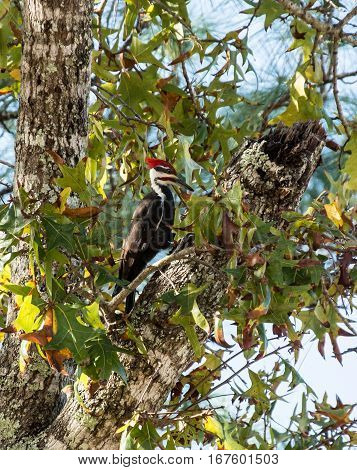 Pileated woodpecker between pecks in the tree
