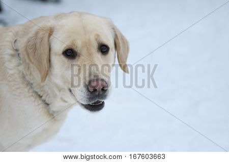 Dog breed Labrador resting on a winter walk