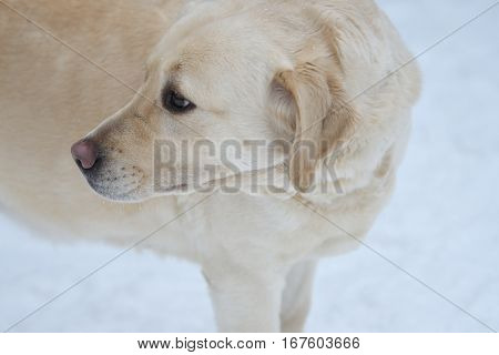 Dog breed Labrador resting on a winter walk