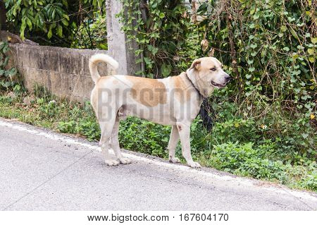 Thai stray male dog on the road.