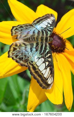 Blue Clipper Butterfly On The Flower
