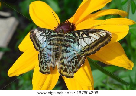 Blue Clipper Butterfly On Sunflower