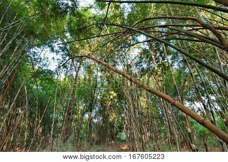 Garden Bamboo Canes That Grow Naturally Release.