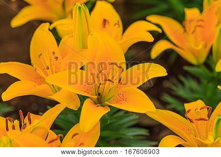 close up yellow lily flower in garden