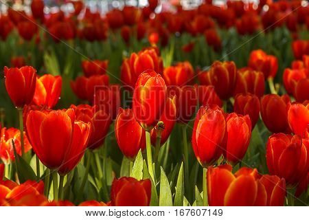 Red Tulips petals orange  bud in blurry tulips background, under shade trees in the park