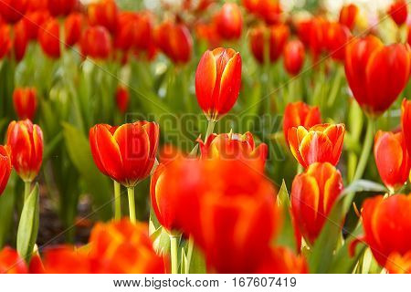 Red Tulips petals orange bud in blurry tulips background under sunlight landscape