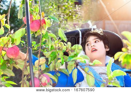 Disabled biracial ten year old boy in wheelchair picking red apples off tree in back yard