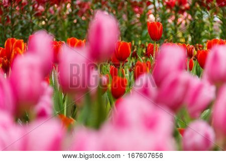 Tulip red petals with yellow flowers in the garden of foreground tulip pink  blurry.
