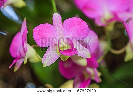 Close-up orchid pink and white in garden,Bouquet of flowers orchids.
