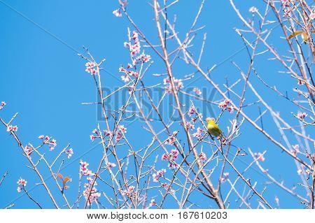 White eye bird on cherry blossom in Spring