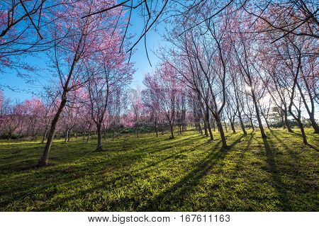 Spring blooming cherry blossom garden on Phu lom lo mountain, Pink flower