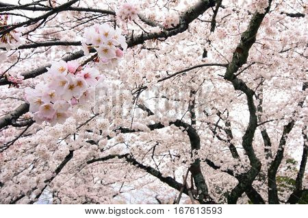 Hanging cherry tree branches heavy with countless white flower blossoms during spring in Japan