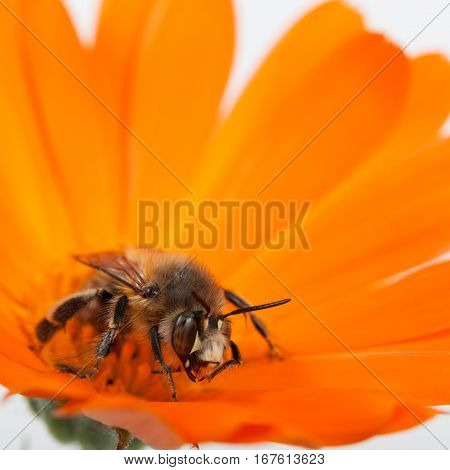 Bee collecting pollen in a flower calendula