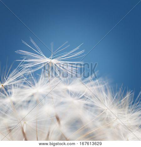 The Dandelion fluff on a blue background