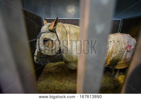 Horse covered with a white blanket in a stable
