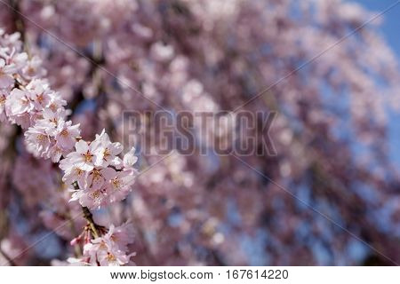 Close up weeping cherry blossoms in front of flower blurs