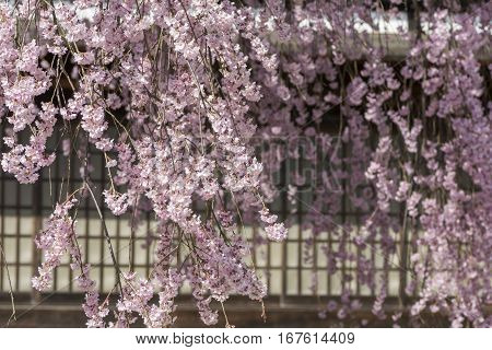 Clustered weeping cherry blossoms in front of paper sliding door