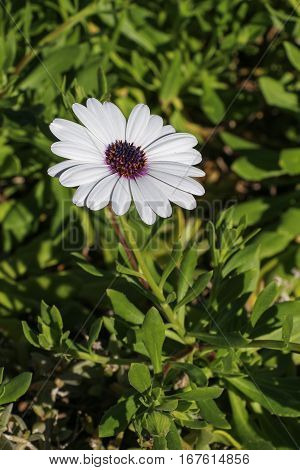 Single daisy on leafy green background in sun
