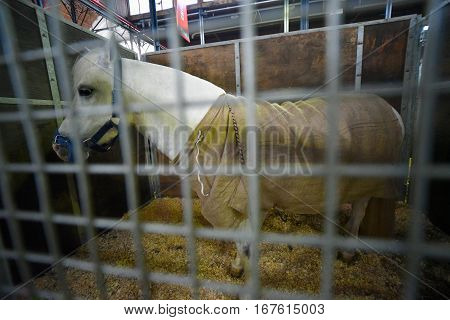 White pony covered with a blanket in a stable