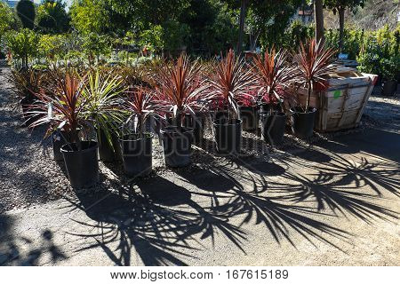 Rows of Giant Dracaena and other plants at outdoor nursery