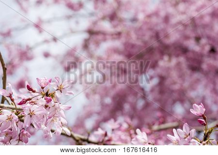 Close up gradation weeping cherry flower in front of pink blurs