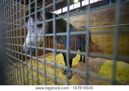 Gray pony covered with a blanket in a stable