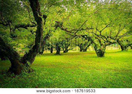 Japanese Apricot  Garden. Soft Focus.