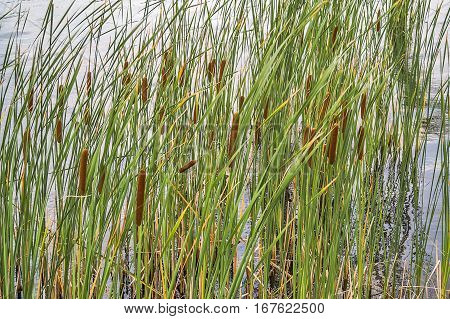 Typha is a genus of about 30 species of monocotyledonous flowering plants in the family Typhaceae. Common names are cattail punks or corn dog grass