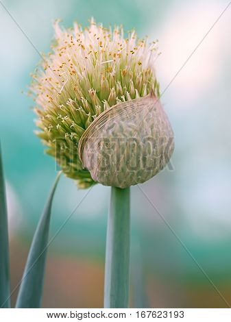 Natural living Shallot onion flower blooming in garden