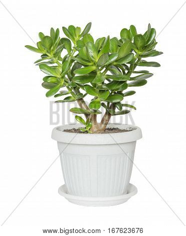 House plant Crassula in a flower pot isolated on a white background