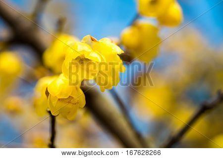 wintersweet flower in full bloom yellow chimonanthus fragrans in cold winter