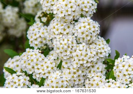 spring blooming guelder-rose shrub, round white flowers