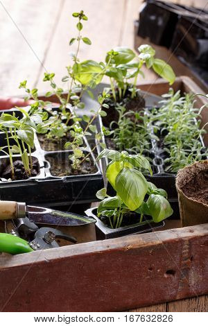 Seedlings of green basil thyme lavender pepper. Young sprouts ready for planting. Gardening concept.