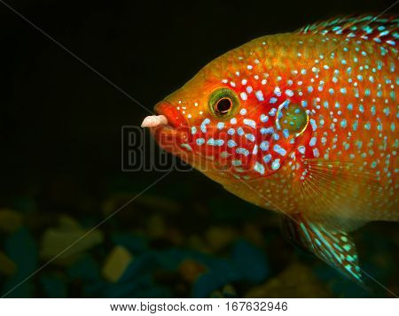 Beautiful big fish with a worm in his mouth. Portrait of a Hemichromis lifalili. Macro