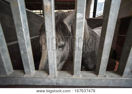 Head of a sad gray horse in a stable