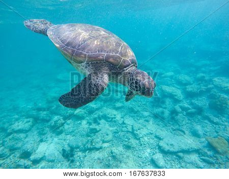 Sea tortoise in blue water. Olive green turtle in tropical sea. Snorkeling in Philippines. Snorkeling with turtle. Philippines marine fauna. Ecosystem of Philippines tropical island. Exotic sea animal