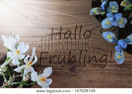 Wooden Background With German Text Hallo Fruehling Means Hello Spring. Sunny Spring Flowers Like Grape Hyacinth And Crocus. Aged Or Vintage Style