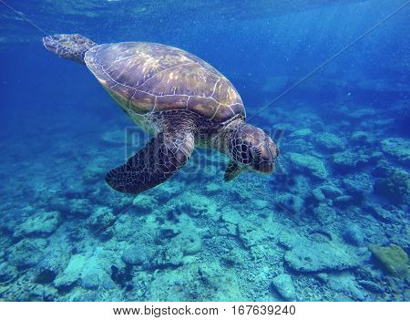 Sea turtle in blue water sea turtle diving picture summer holiday in tropical sea snorkeling with turtle image lovely sea turtle in ocean big green shell turtle rare species of sea ecosystem