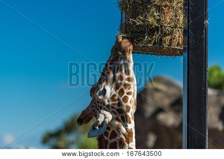 Giraffe Eating Dry Grass