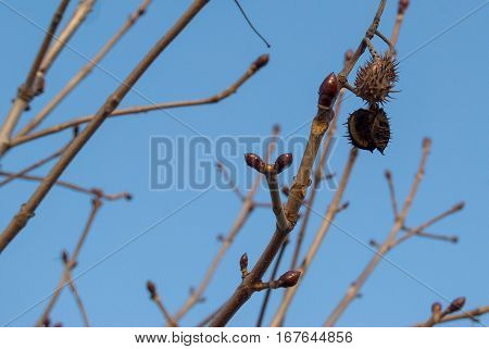 Detail Of A Chestnut Tree Branch In Winter