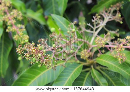 Bunch of young green mango and flowers on tree in garden
