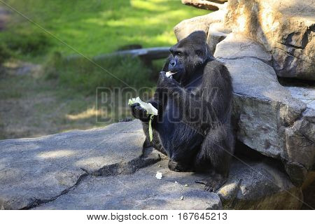 Gorilla Eating Cabbage