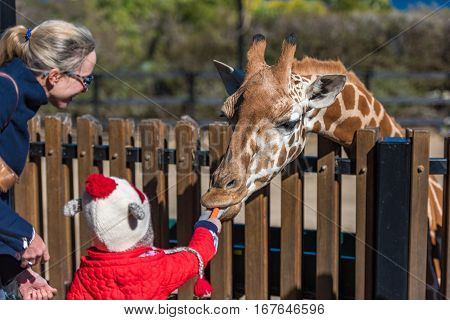 People Feeding Giraffes