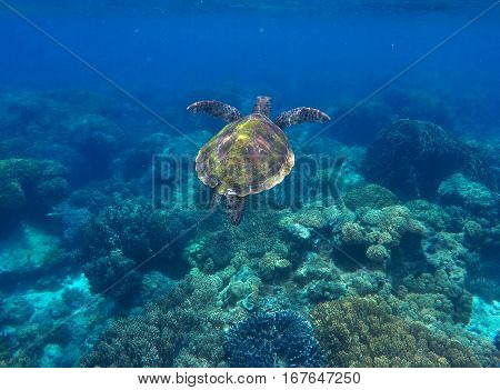 Sea turtle in dark blue water. Sea turtle and coral reef. Green turtle swimming in deep blue sea. Marine sanctuary in tropical island. Sea life and animal in wild nature. Snorkeling photo.